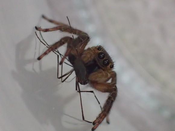 カメラ目線で蚊をモグモグと捕食するハエトリグモ