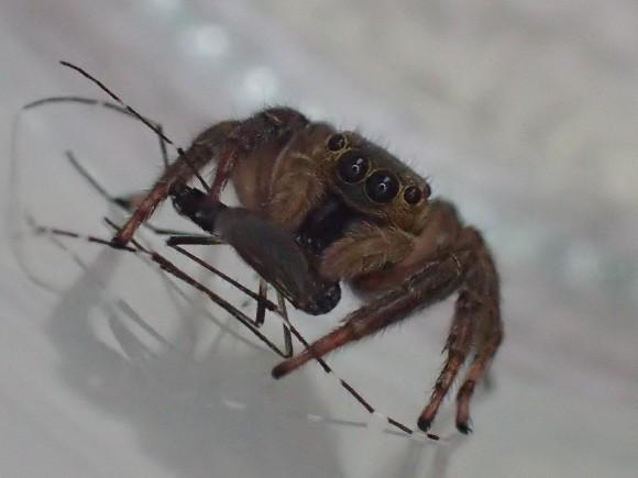 蚊の位置を変えながらモグモグと食べるハエトリグモ