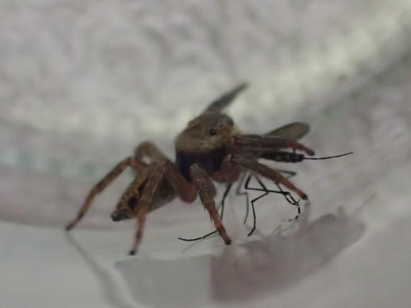 人目を避けるように場所を移動するハエトリグモ