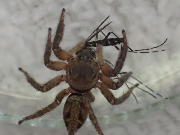 ゆっくりと蚊を喰む勇ましいハエトリグモ