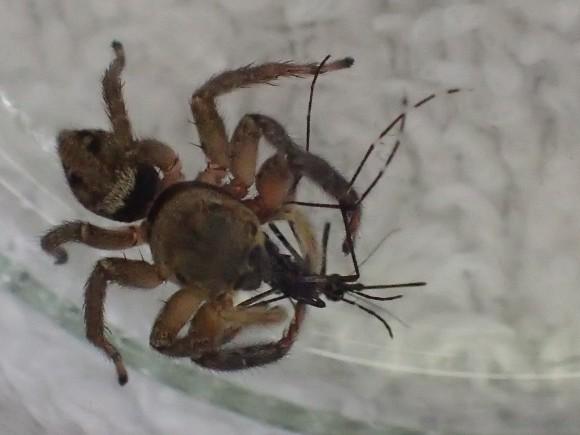 脚を器用に使って蚊を捕食する益虫ハエトリグモ