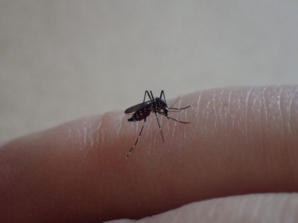 人間の指から血を吸う害虫の蚊(ヒトスジシマカ)