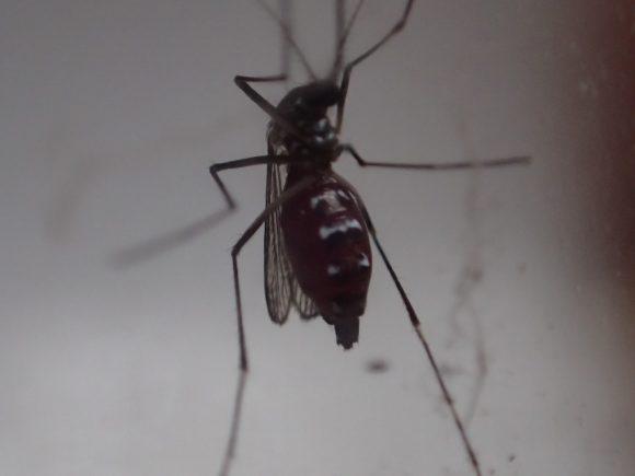 嫌われ者の害虫ヒトスジシマカが人間の血を腹一杯に吸った様子