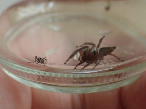 目の前の蚊(カ)を狙うハエトリグモ