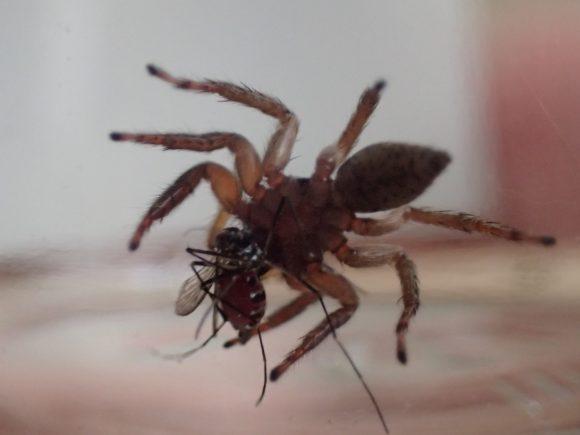 美味しそうにモグモグと蚊を食べ始めるハエトリグモ