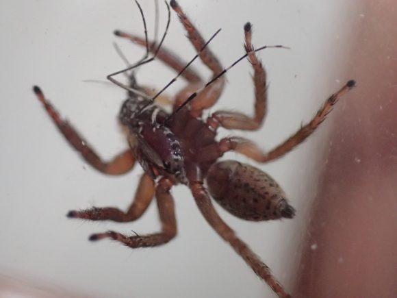 上手に蚊(カ)の位置を調整して食べるハエトリグモ