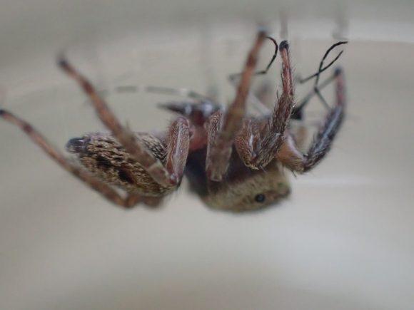 周囲を警戒しながら蚊を食べ進めるハエトリグモ