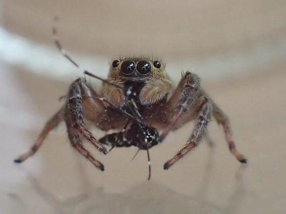 カメラ目線で一心不乱に蚊を食べるハエトリグモ
