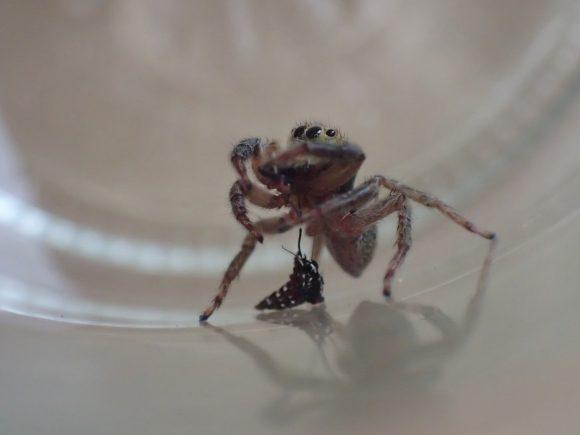 周囲の状況が気になりながらも食事を止めないハエトリグモ