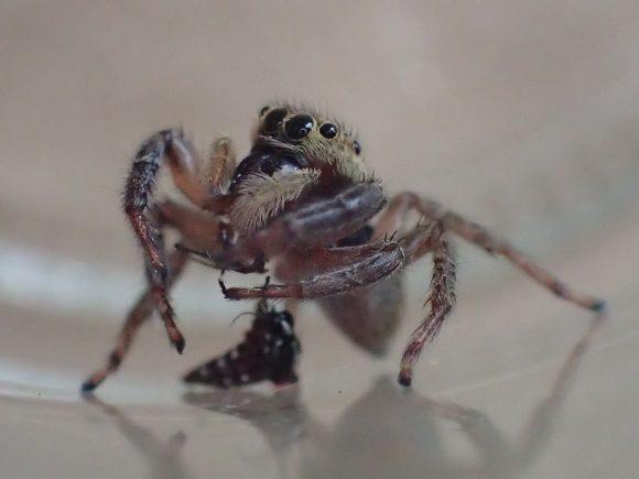 蚊の脚を引きちぎって上手に食べるハエトリグモ