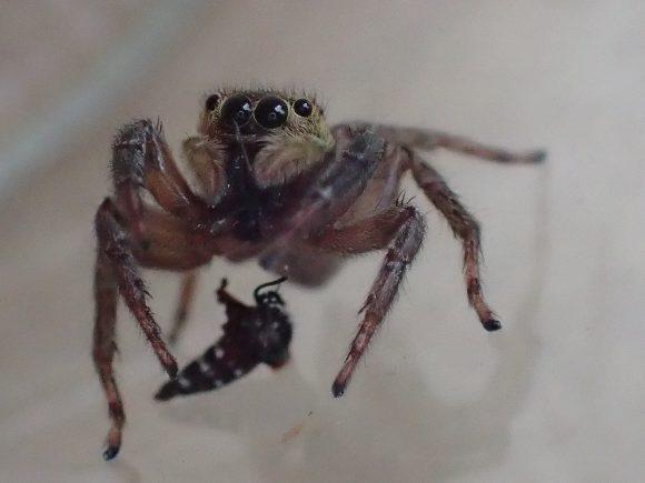 蚊を食べ終えて口の周りを掃除するハエトリグモ