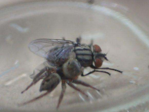 衛生害虫センチニクバエを捕えたハエトリグモ!