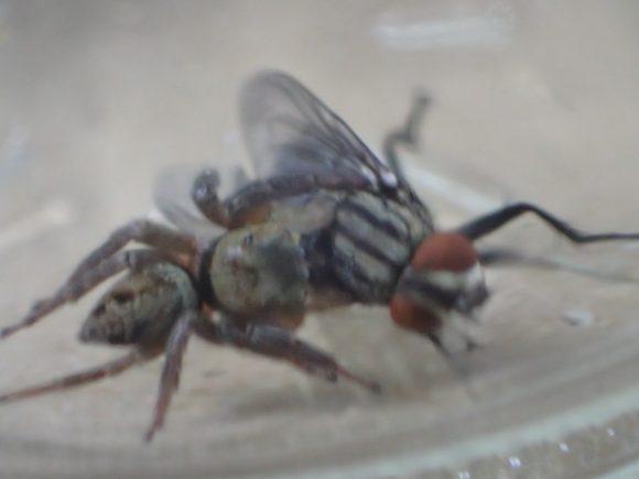 もがき暴れるニクバエを押さえつけるハエトリグモ