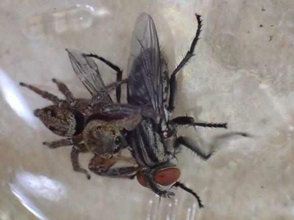 ジタバタして逃走を図るハエを絶対に逃さないハエトリグモ