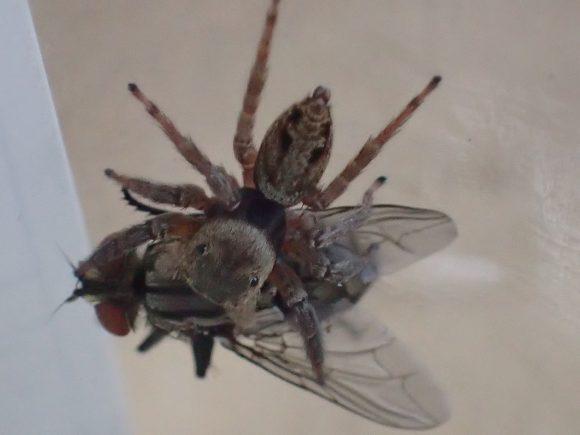 柔道の押さえ込み技の要領でハエを掴む蜘蛛