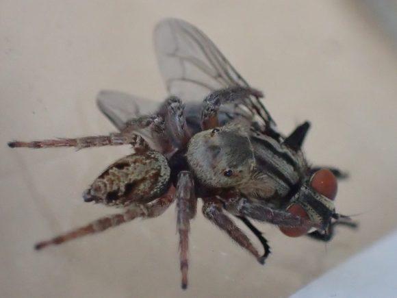 ウジ虫を産み付ける害虫のニクバエを捕らえる益虫のハエトリグモ