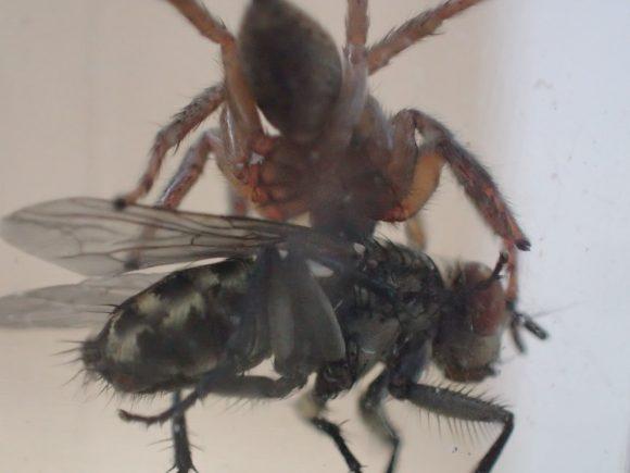 肉蠅を捕えたハエトリグモを下から撮影した図