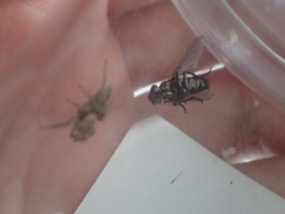 ハエトリグモの吐いた糸に絡まりダラリと垂れ下がるハエ