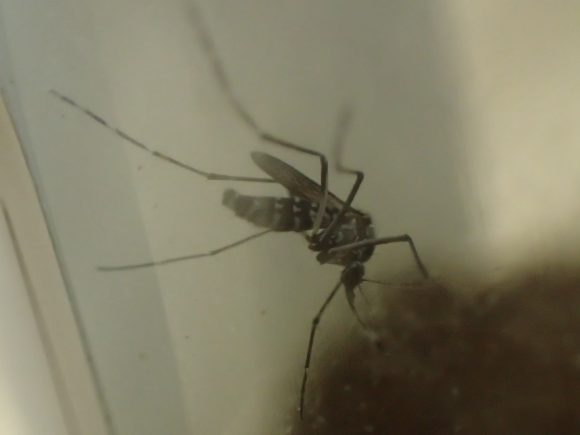 珈琲の香りにジタバタと歩き回る蚊