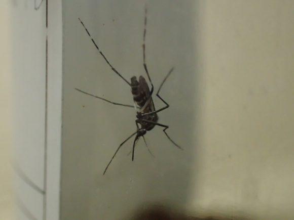 ガラス瓶の中で右往左往して落ち着かない蚊
