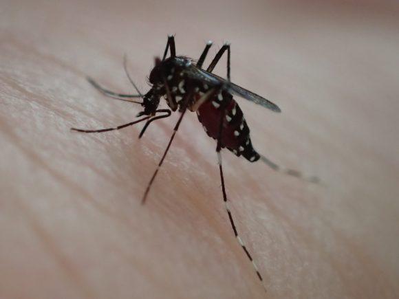 蚊は30秒足らずで腹部がパンパンになるまで吸血する恐ろしい害虫