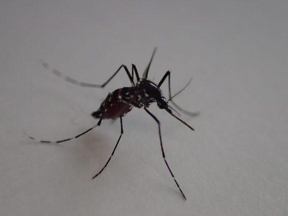 お腹がパンパンに膨れ上がるまで人間の血を吸ったヒトスジシマカ(蚊)