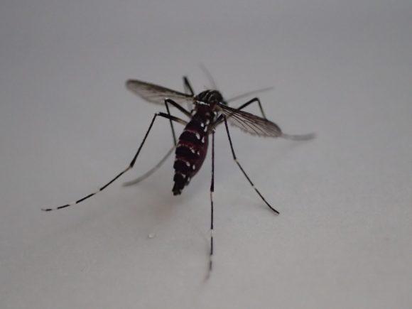 お腹いっぱいに血を吸った蚊の後ろ姿