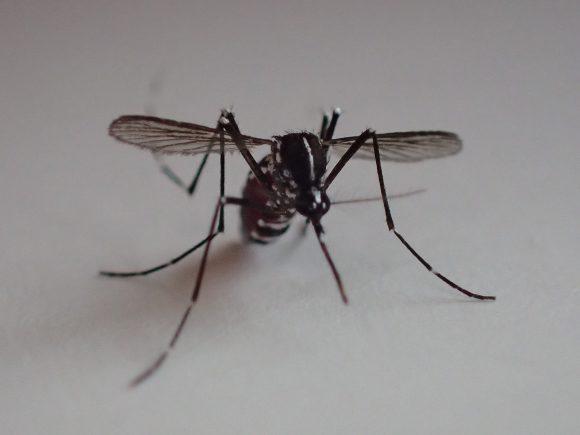 血を吸い終えて一休みするヒトスジシマカ(ヤブ蚊)