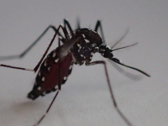 重さでヨロヨロ歩くしかできない害虫の蚊(ヒトスジシマカ)