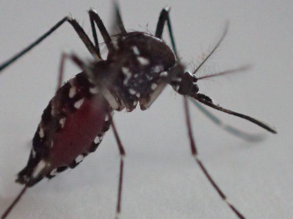 腹部が人間の血液で赤黒く膨れ上がった蚊の写真・画像