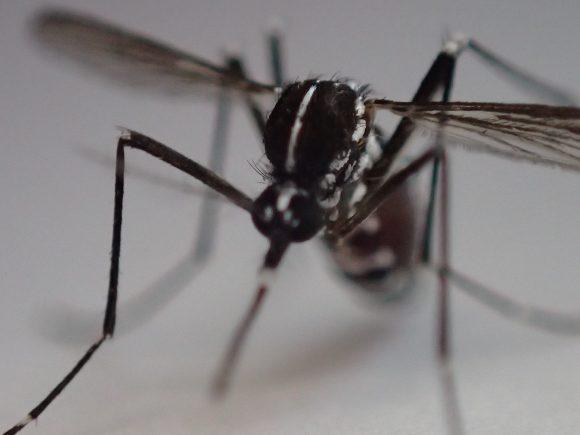 害虫のヤブ蚊・ヒトスジシマカの頭部の超ズームアップ写真