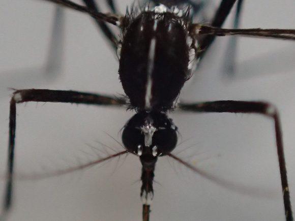 蚊・ヒトスジシマカの顔・頭部を顕微鏡モードで撮影した画像