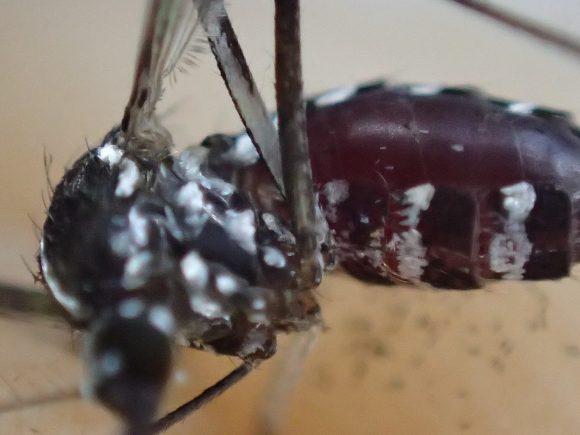 血を吸った腹部がゴムのように膨れた害虫のヒトスジシマカ