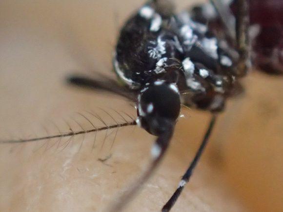 害虫ヒトスジシマカの頭部を顕微鏡モードで撮影