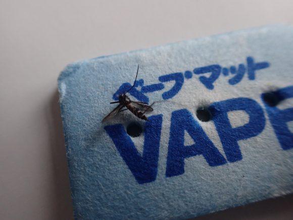 温かいベープマットの上にヤブ蚊・ヒトスジシマカを置いた