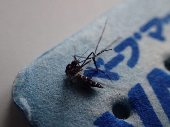 ベープマット(VAPE)シートの上でもがく害虫の蚊(カ)
