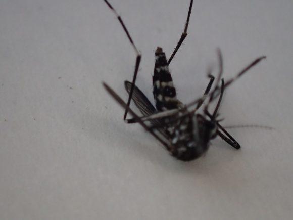 徐々に動きが鈍く、小さく、少なくなる害虫の蚊(ヒトスジシマカ)