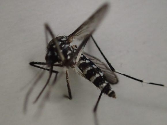 ヤブ蚊がピクリとも動かなくなり駆除に成功した瞬間