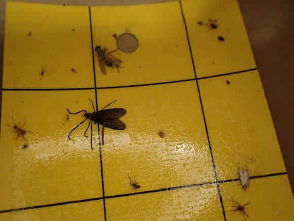 外に設置した粘着シートには予想通り蝿など無数の虫が掛かっている