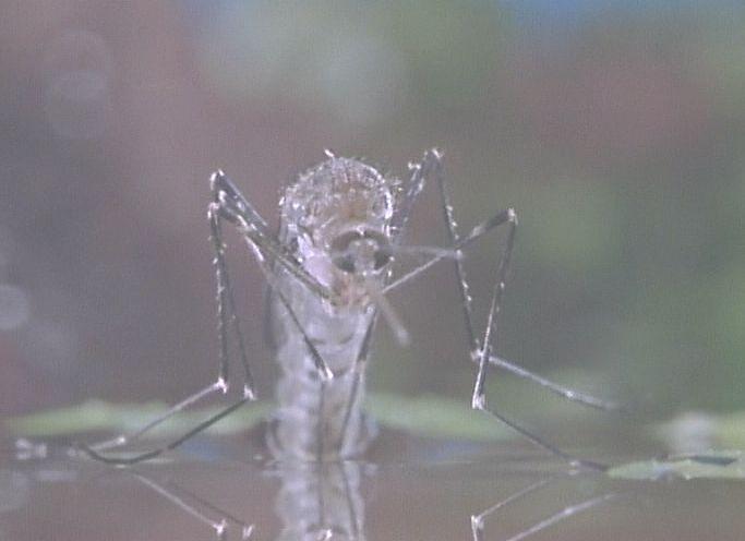 森林の中の池・沼でボウフラから羽化して成虫になる害虫の蚊(カ)