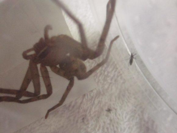 血を吸った蚊をアシダカグモに餌(エサ)として与えてみた