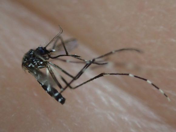 素手で退治・駆除した害虫の蚊(アカイエカ)