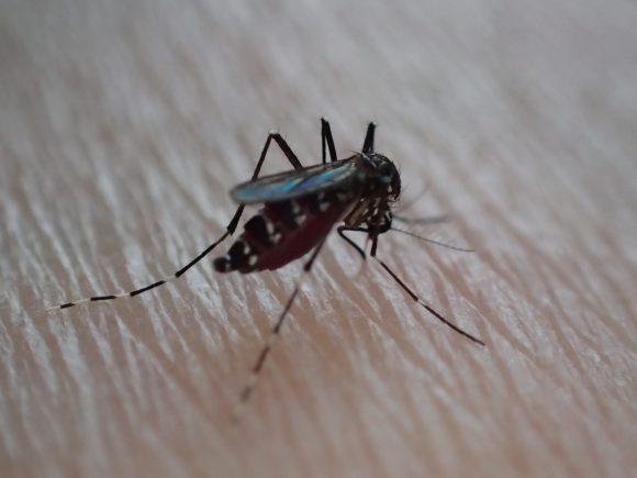 2倍3倍にまで膨れ上がった蚊の大きな腹部