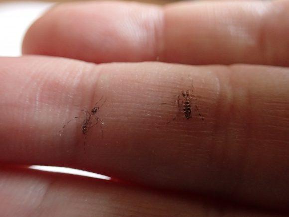 手の指に残された2つの蚊の鱗粉(黒い粉)