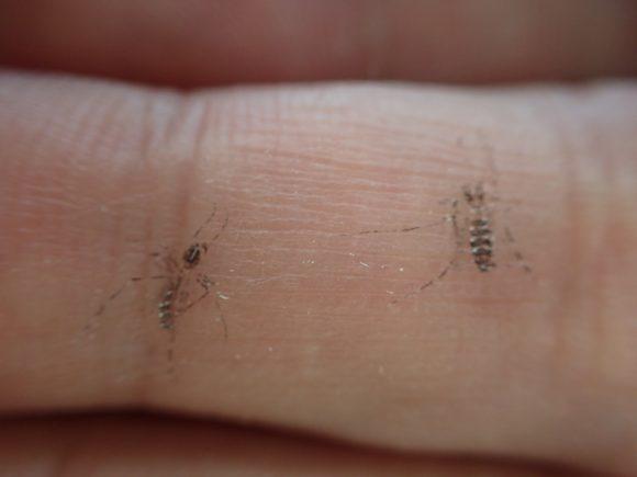 手の指に蚊の痕が黒くクッキリと残っているのは鱗粉(りんぷん)