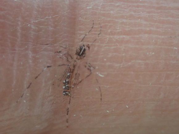 押し花のようにクッキリハッキリと指に移った蚊の鱗粉(黒い粉)