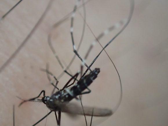 人間の足の皮膚で血を吸っていたヤブ蚊・ヒトスジシマカを駆除
