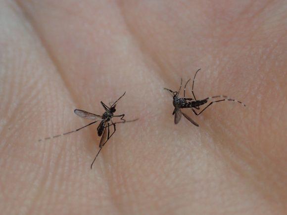 二匹同時に害虫のヤブ蚊を捕殺した屍骸の写真・画像