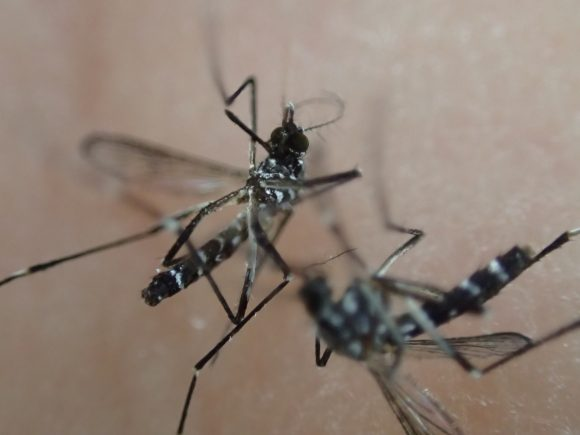 害虫のヤブ蚊(ヒトスジシマカ)を2匹同時に駆除した時の撮影写真・画像