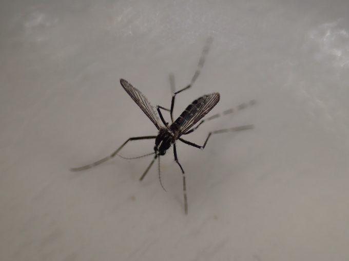 弱って飛べない害虫の蚊(ヒトスジシマカ)